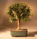 Bonsai Boy Of New York: $20 Off Baby Jade Bonsai Tree