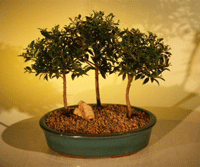 Bonsai Boy Of New York: 13% Off Flowering Brush Cherry Bonsai Tree