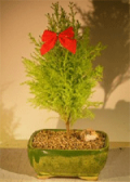 Bonsai Boy Of New York: 13% Off Lemon Cypress Bonsai Tree