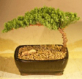 Bonsai Boy Of New York: Juniper Bonsai Tree As Low As $21.95